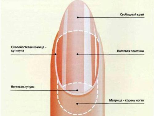 Сколько растет ноготь. Как происходит процесс роста ногтей